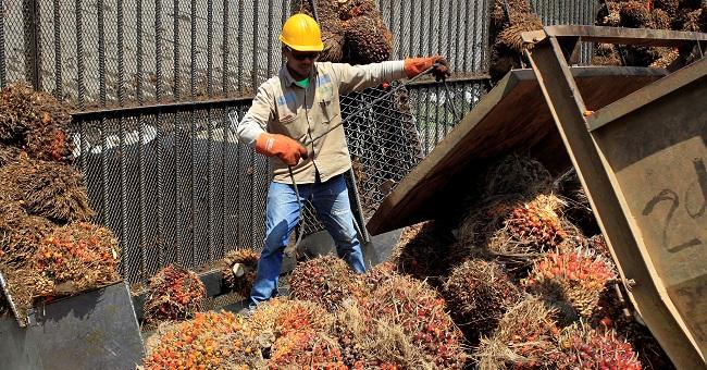 Un trabajador que organiza varios frutos de palma de aceite en María la Baja, Bolívar.