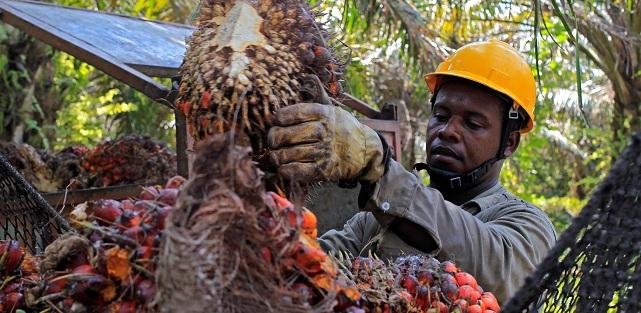 Las exportaciones de aceite de palma crudo y refinado de Colombia al mundo alcanzan alrededor del 50 % de la producción total del país.