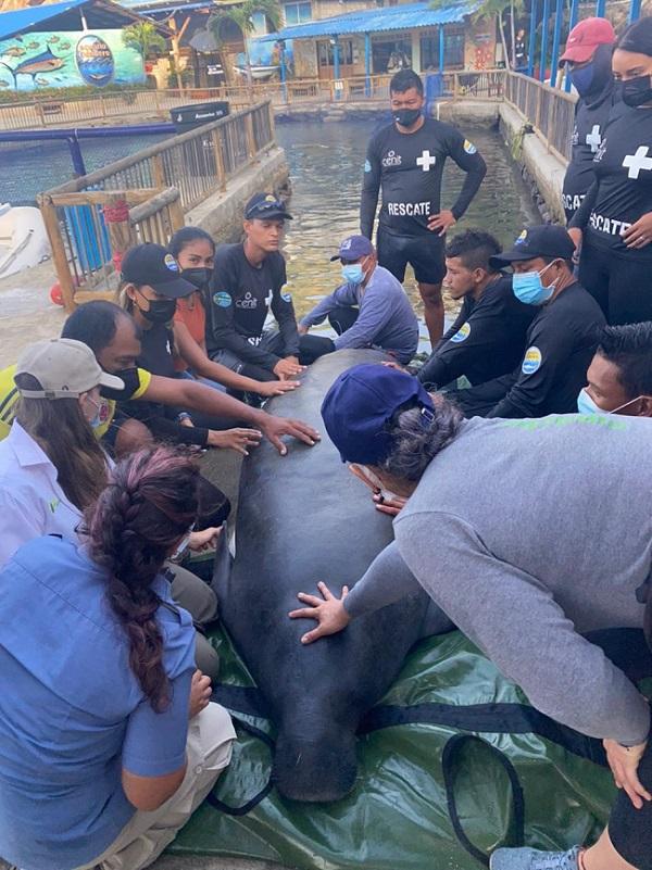 Julieta, la manatí rescatada regresa a las aguas del Caribe Colombiano - Noticias de Colombia