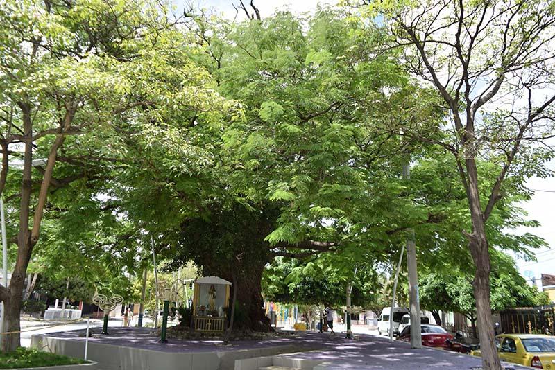 Árboles en Santa Marta, una fuente de oxígeno e historia